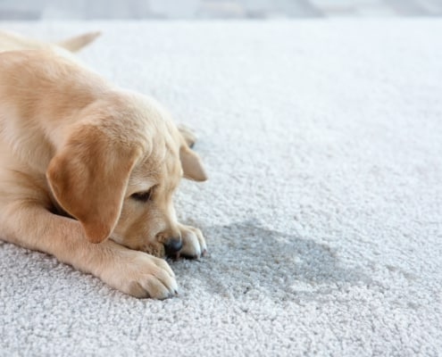 pet odour and stain removal in leeds